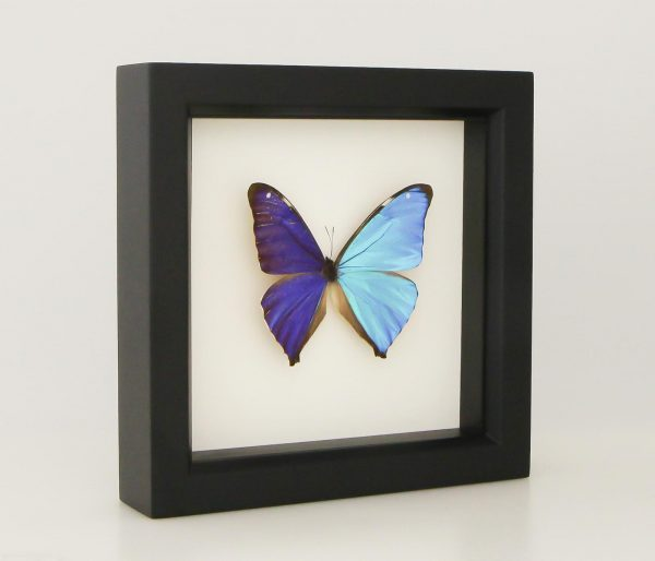 real butterfly gift