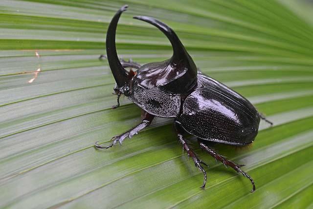 Common Rhino Beetle