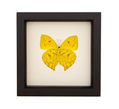 Framed Cloudless Sulphur (Underside)