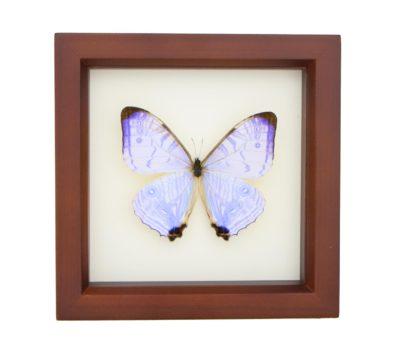 Framed Pearl Morpho Butterfly (Morpho sulkowski)
