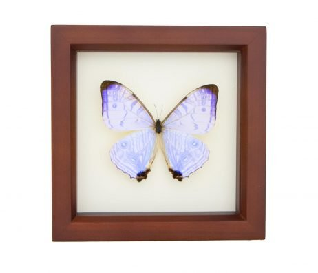 framed pearl morpho walnut frame