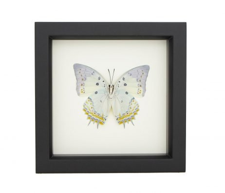 polyuria delphis framed