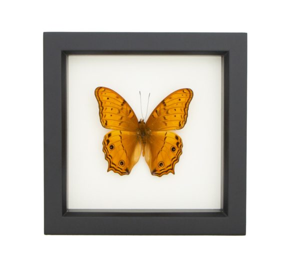 vindula arsine mounted butterfly