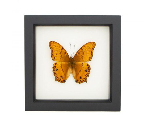 vindula arsine mounted butterfly