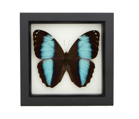 blue banded morpho butterfly