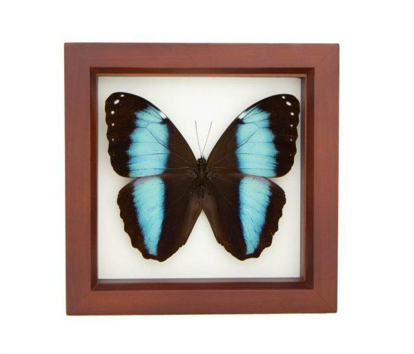 blue banded morpho walnut frame