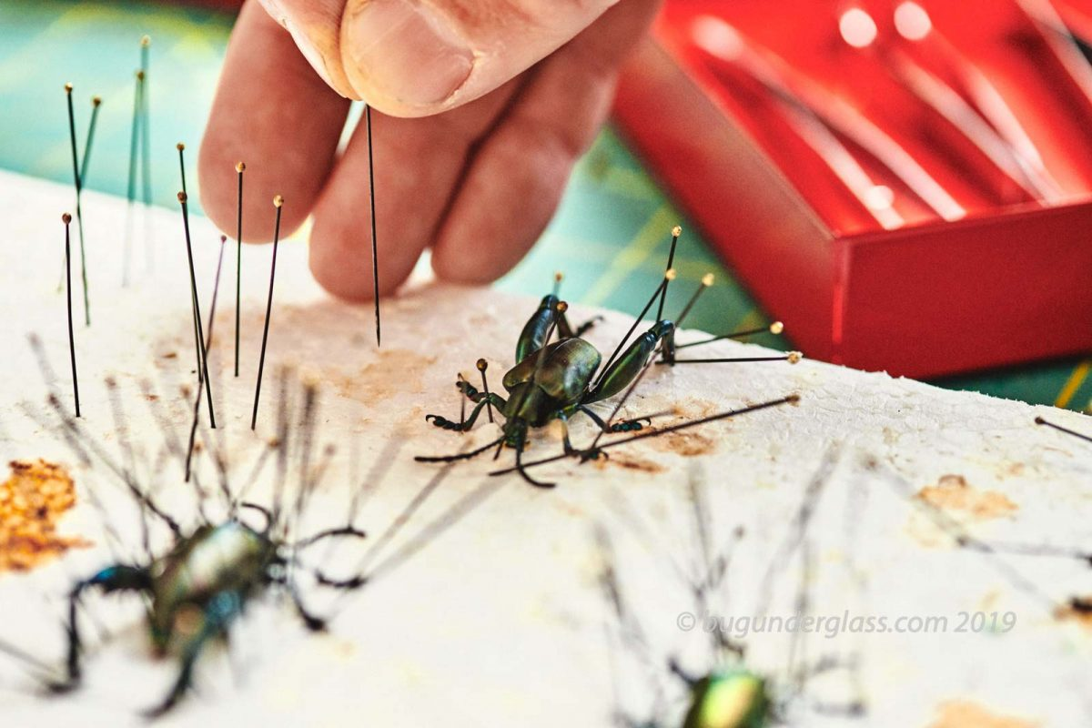 pinning insects