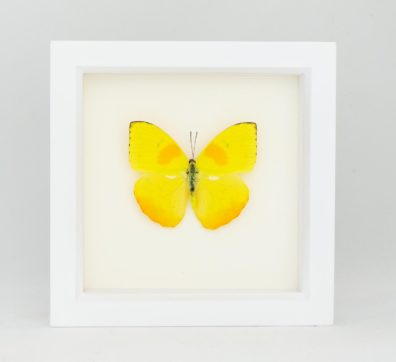 Framed Sulphur Butterfly (Phoebis philea)
