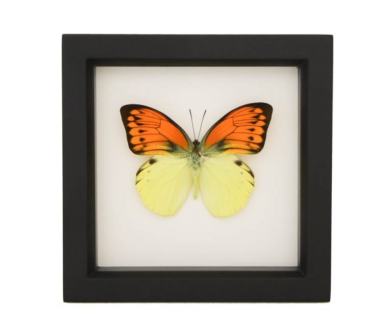 New - Framed Brimstone Wing Butterfly