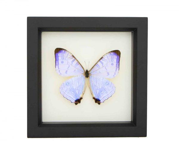 framed morpho sulkowski