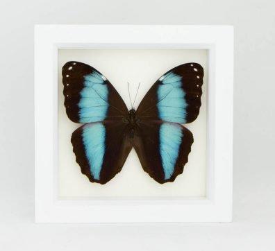 Framed Blue Banded Morpho Butterfly (Morpho achilles)