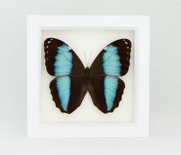 blue banded morpho white frame