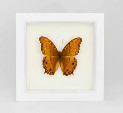 Framed Cruiser Butterfly (Vindula arsinoe)