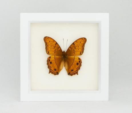 orange framed cruiser butterfly