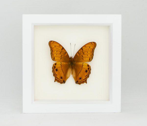 orange framed cruiser butterfly