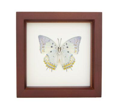 Framed Jewelled Nawab Butterfly (Polyura delphis)