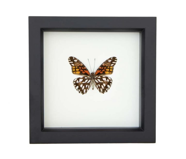 - NEW - Framed Mexican Silverspot