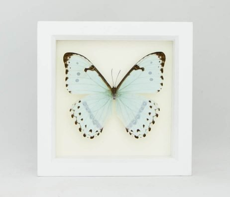 framed mint morpho white frame