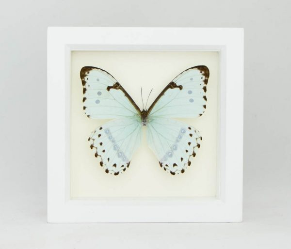 framed mint morpho white frame