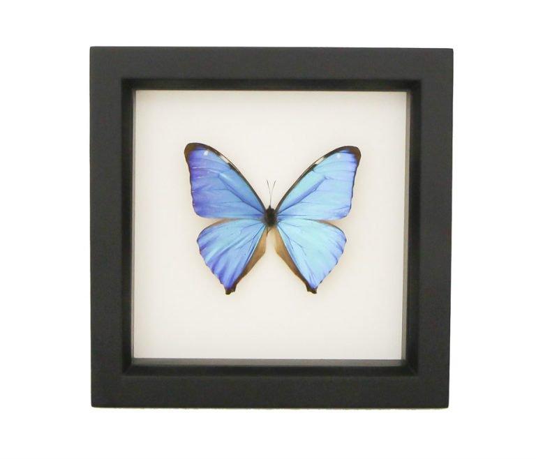 Framed Blue Morpho Aega