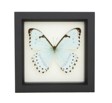 Framed Mint Morpho Butterfly (Morpho catenarius)