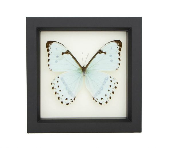 framed mint morpho butterfly