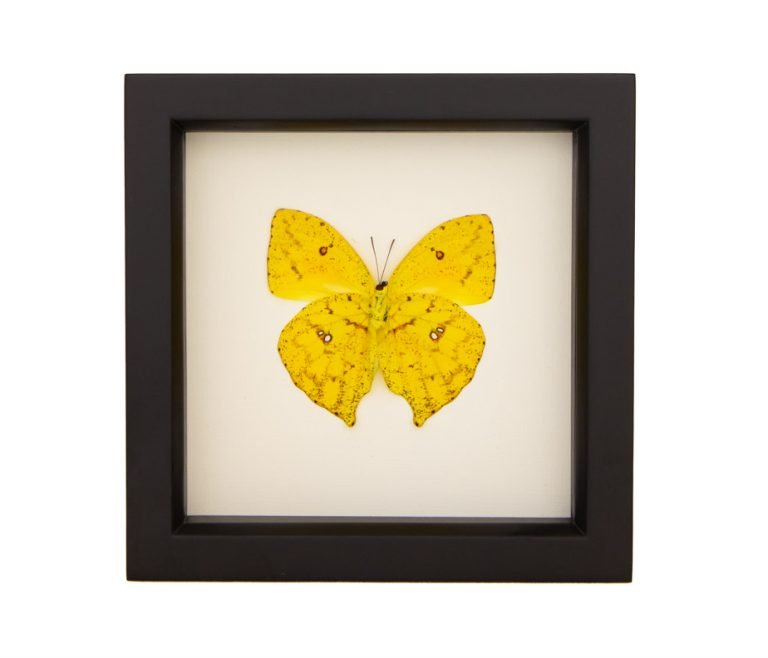 Framed Cloudless Sulphur (Underside) Butterfly
