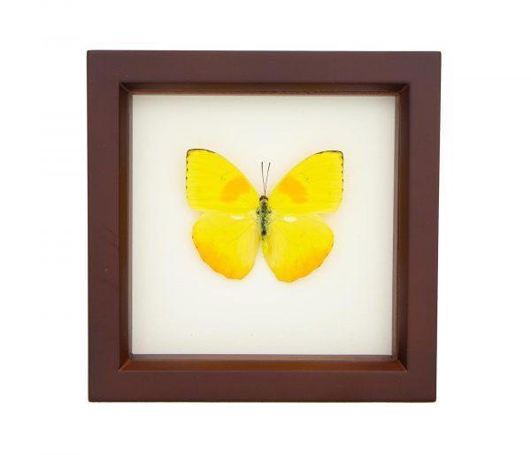 framed sulphur butterfly walnut frame