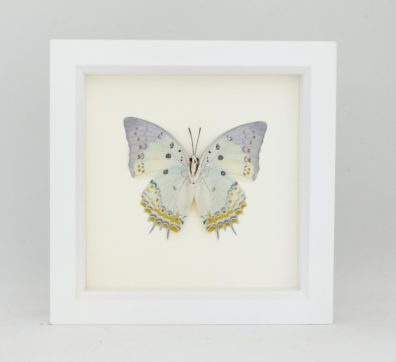 Framed Jewelled Nawab Butterfly (Polyura delphis)
