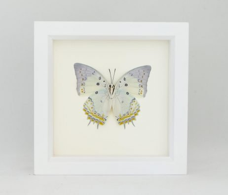 framed butterfly white frame