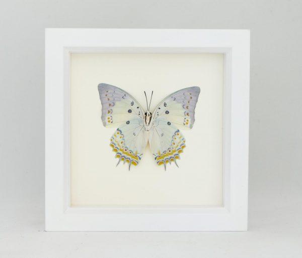 framed butterfly white frame