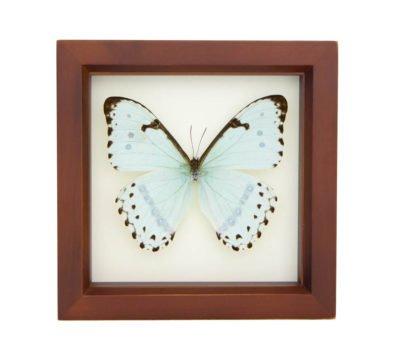 Framed Mint Morpho Butterfly (Morpho catenarius)