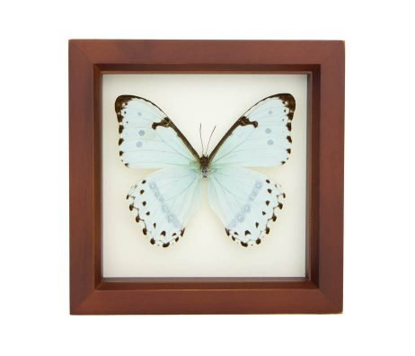 mint morpho taxidermy frame