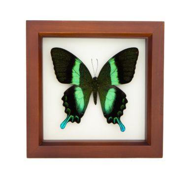 Framed Peacock Swallowtail Butterfly (Papilio blumei)