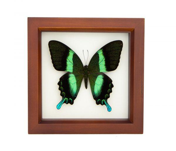 framed peacock swallowtail walnut frame