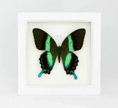 Framed Peacock Swallowtail Butterfly (Papilio blumei)
