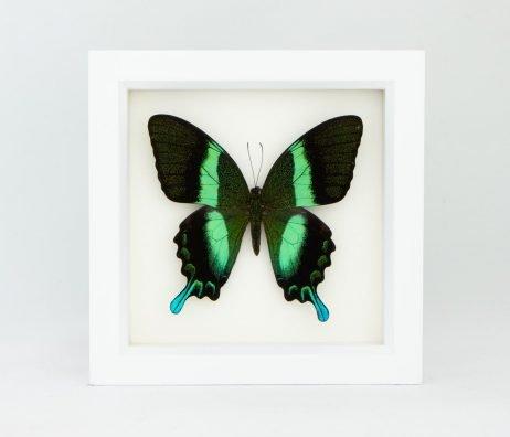 peacock swallowtail taxidermy white frame