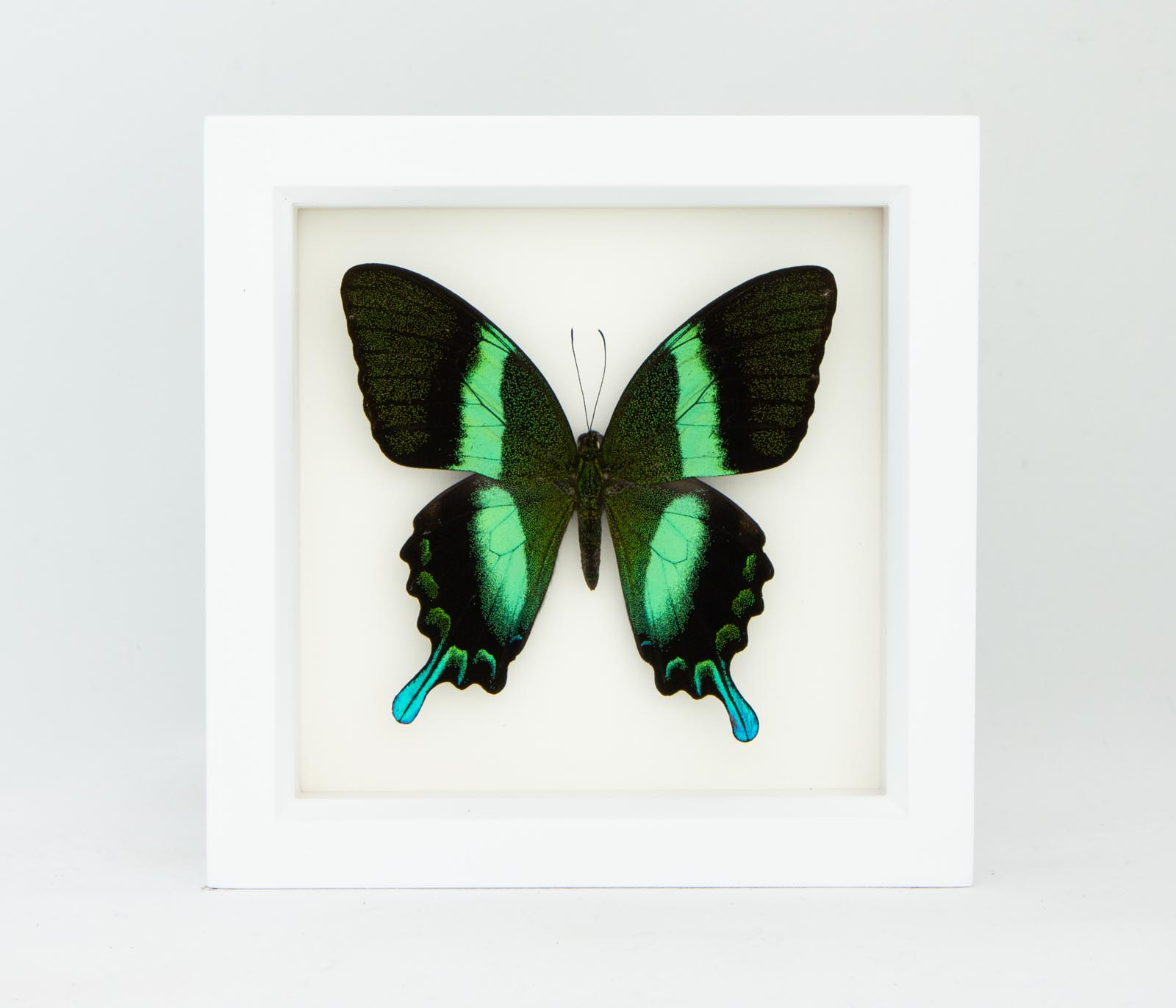 Framed Peacock Swallowtail Papilio Blumei Bug Under Glass