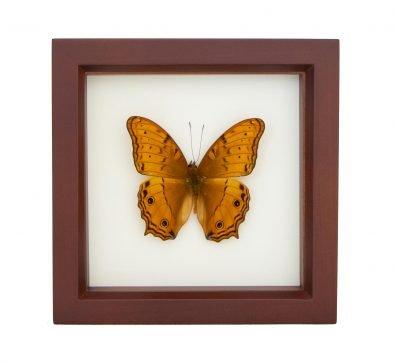 Framed Cruiser Butterfly (Vindula arsinoe)