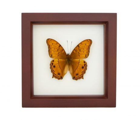 preserved orange cruiser butterfly
