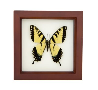 Framed Tiger Swallowtail Butterfly