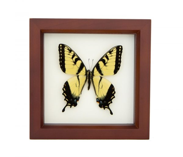 tiger swallowtail butterfly for sale