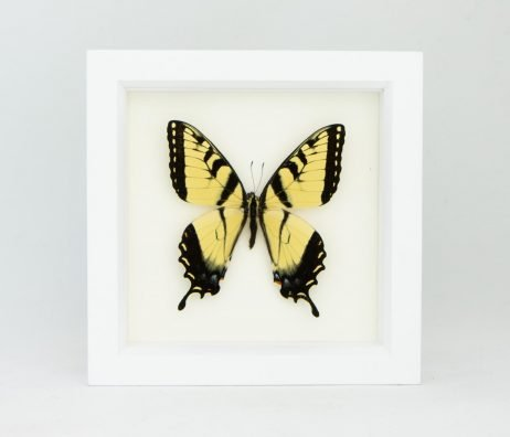 tiger swallowtail white frame