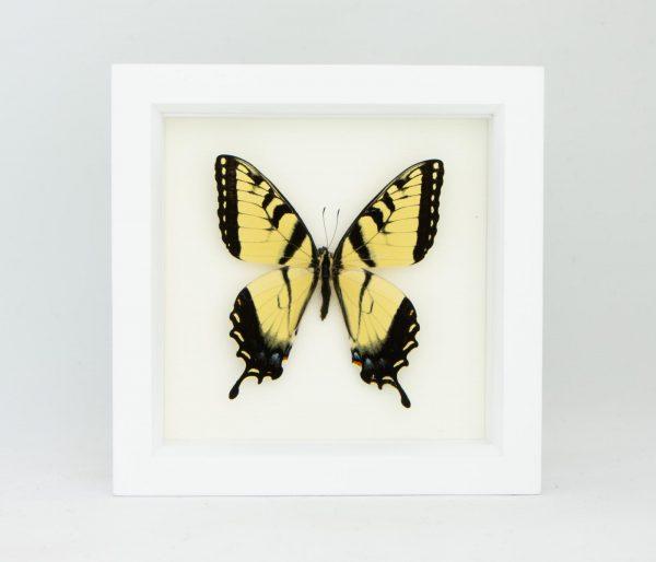 tiger swallowtail white frame
