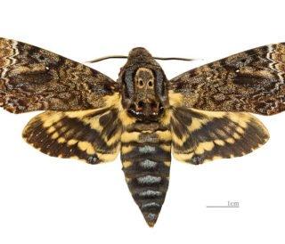 Acherontia-lachesis-Female-1