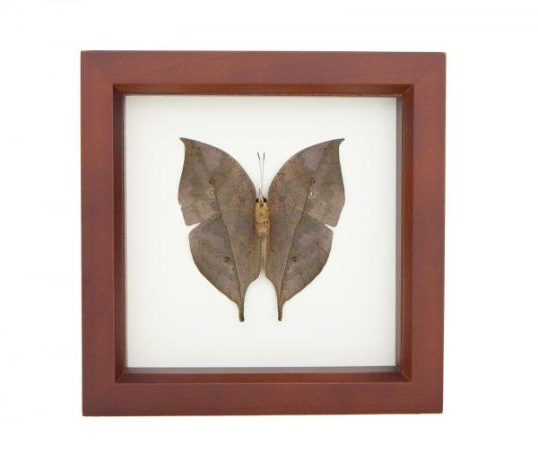 Kallima inachus specimen display