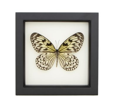 Framed Rice Paper Butterfly (Idea leuconoe)