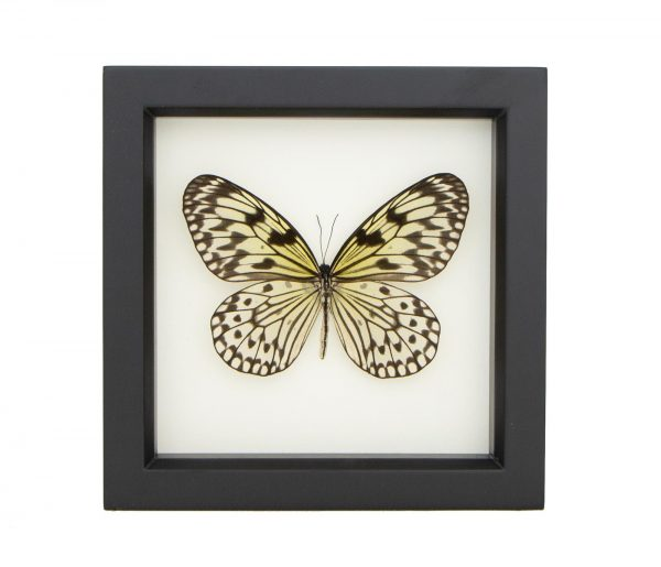 black and white butterfly framed