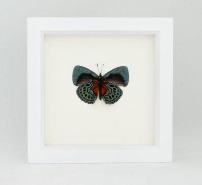 Framed Blue Glory Butterfly (Asterope optima)