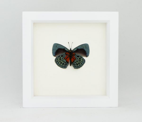 blood red butterfly display
